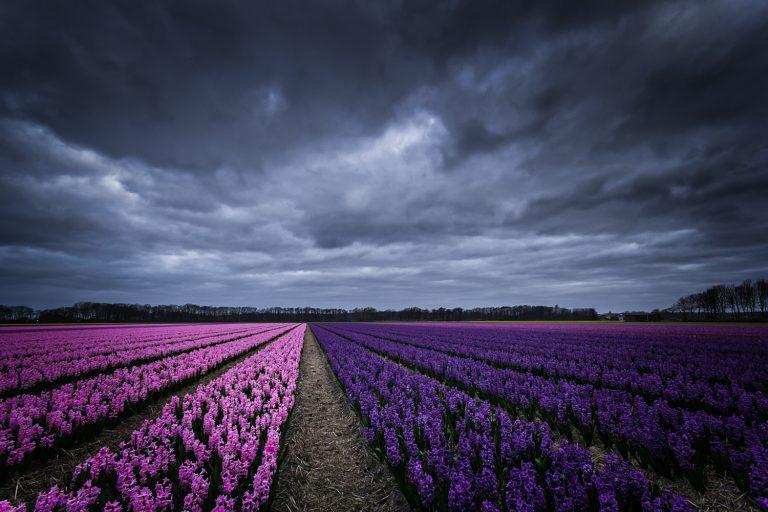 Bollenstreek bloembollen Hyacint