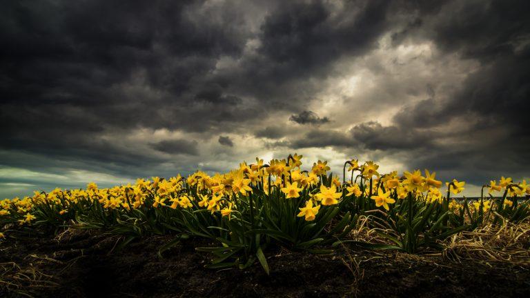 Bollenstreek bloembollen Narcis