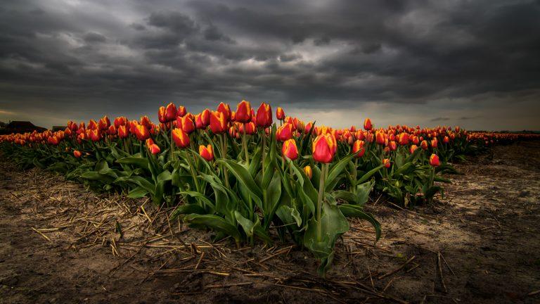 Bollenstreek bloembollen Tulp